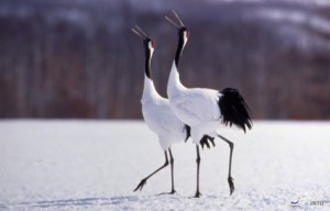 Red-crowned_Cranes_Kushiro_151919_JNTO