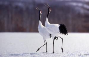 Red-crowned_Cranes_Kushiro_151919_JNTO
